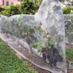 Die Trauben im Schlossgarten