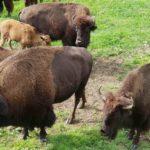 Die Büffel vom Juraparc