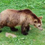 Einer der Bären im Juraparc